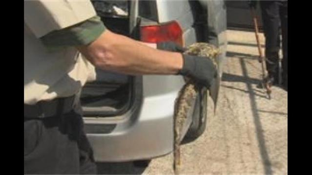 Snakes in a Van? Chase Leads to Bizarre Discovery