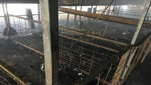 Ten Prize Show Pigs Killed in Nolan County Barn Fire