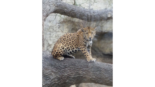 Jaguar Who Escaped At Abilene Zoo Likely Scaled Rock Wall to Enter Crawl Space