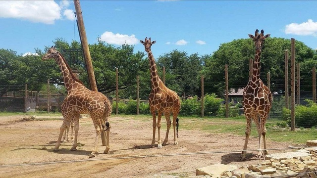 Abilene Zoo expecting three giraffe calves
