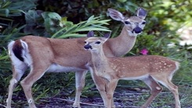Two men accused of hogtying, injuring endangered deer