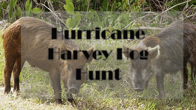Big County hog hunt benefit to donate meat to hurricane victims