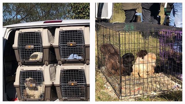 Donations Needed For Callahan County Shih Tzu Rescue Project 80