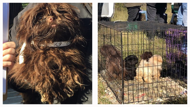 Rescue The Animals Awarded Custody Of 78 Shih Tzus From Callahan